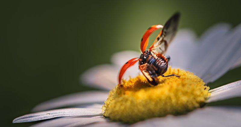 природа, макро, насекомые, жуки, божья коровка, взлет Пьяный даос фото превью