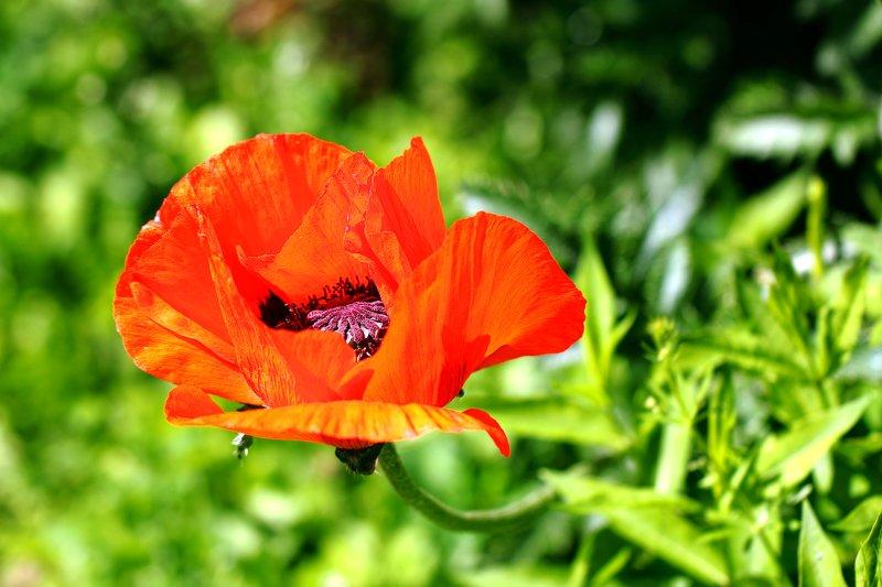 маки, цветок, цветы, соцветие, соцветия, flowers, poppy, papaveraceae, ranunculales, dicotyledones Красавчик и чудовище одновременно...photo preview