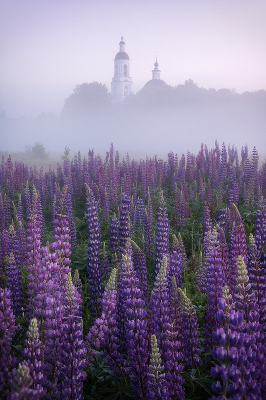 россия, филипповское, шерна, река, туман, люпины Люпиновое утроphoto preview
