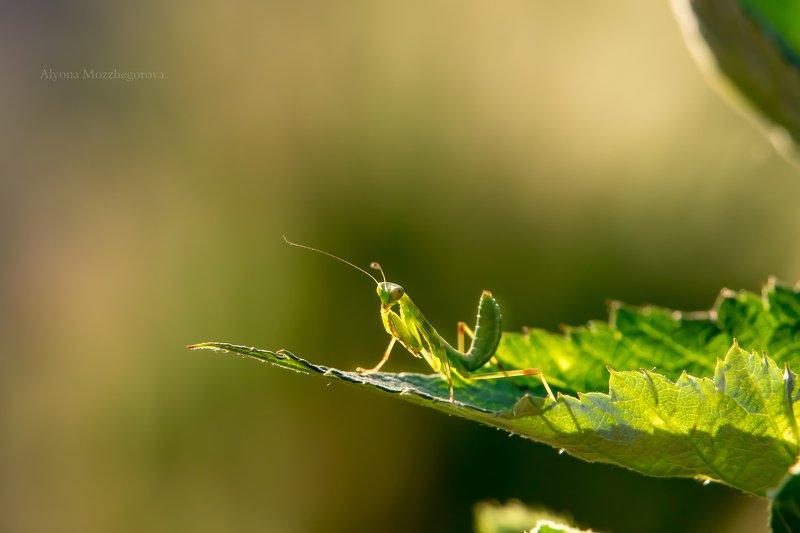 макро, богомол, зелень Маленькая козявка...:)photo preview