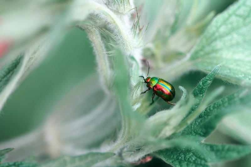 жуки, листоеды, хризомелин, букашка, насекомое, насекомые, bugs, insects, chrysomelinae, chrysomelidae Поскользнулся, упал, очнулся в сказке...photo preview