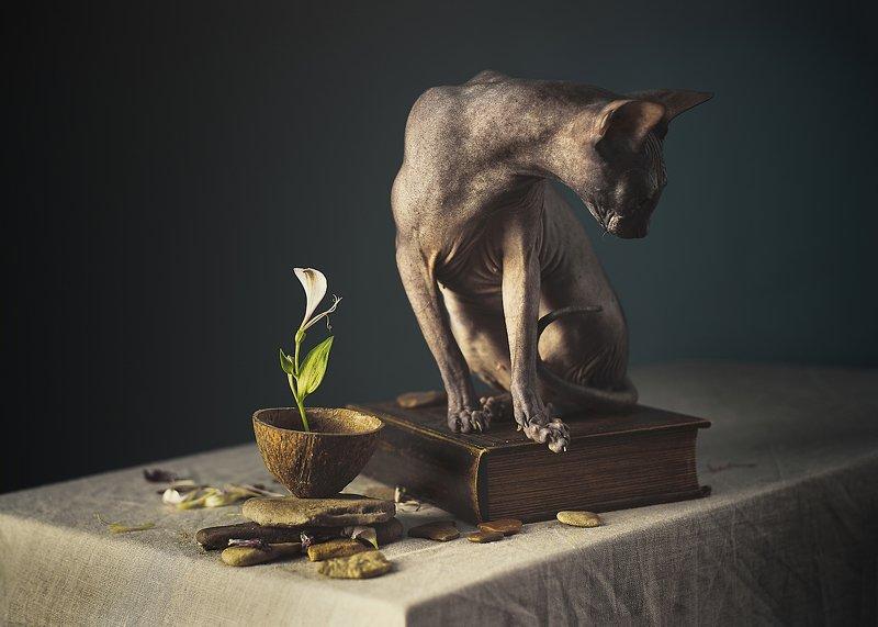 кошка, сфинкс, цвет, портрет, кошка-модель, животные позируют Модели на неделе или ТФП по кошачьиphoto preview