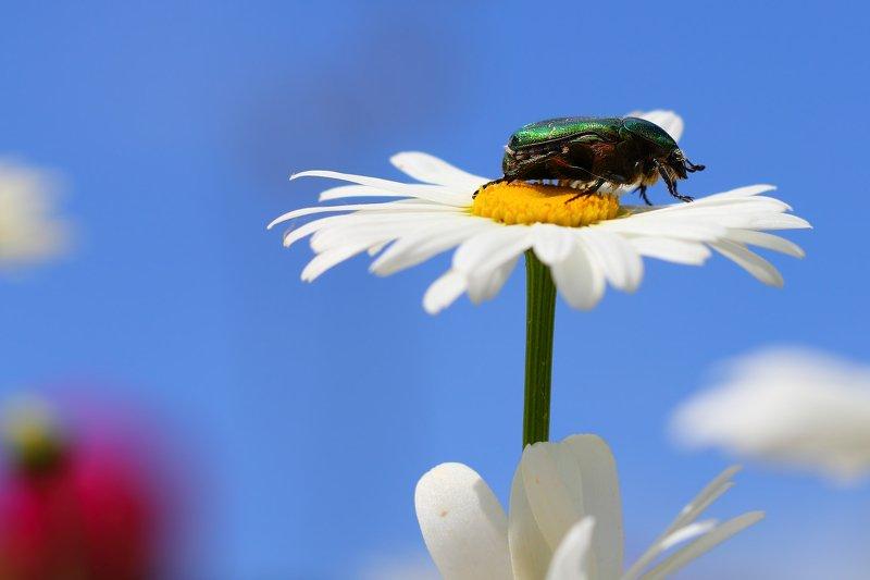 бронзовки, букашка, насекомое, насекомые, жучок, жуки, жучки, bugs, insects, cetoniinae Высоко сижу, далеко гляжу...photo preview