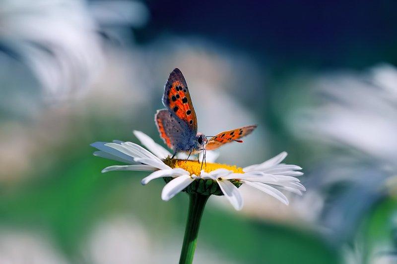 лето, природа, бабочки, голубянка, голубянка червонец гелла ***photo preview