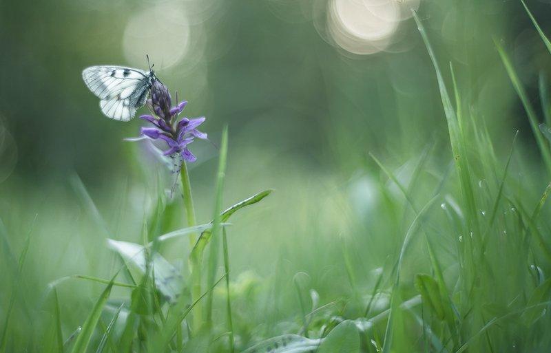 макро, мнемозина, бабочка, утро, свет, цвет, травы, позитив, Утро мнемозины...photo preview
