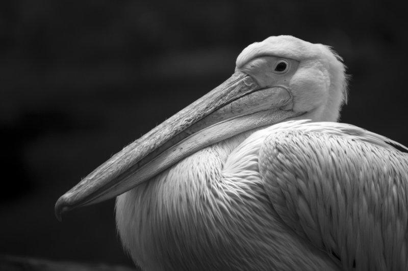 птица, пеликан, животное Портрет розового пеликанаphoto preview