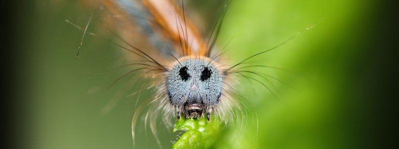 гусеница, гусеницы, шелкопряды, коконопряды, букашка, насекомое, насекомые, caterpillars, insects, lasiocampidae Я поцелую провода, и не ударит меня ток...photo preview