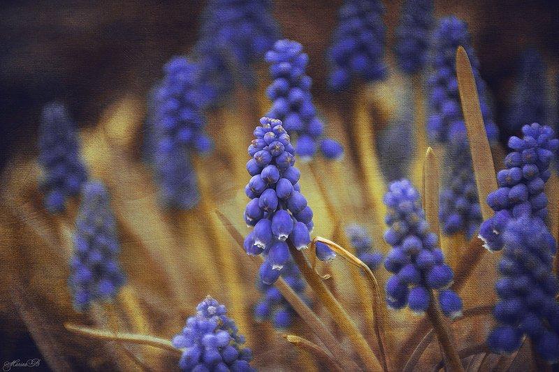 весна, мускари, акварель Акварельный мускариphoto preview