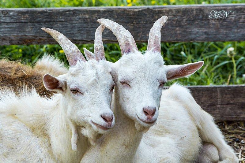 Наблюдение за козами.photo preview