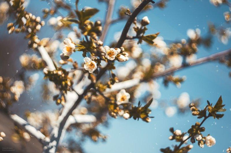 природа, вишня, деревья, цветы, весна, боке, nature, cherry, trees, flowers, spring, bokeh, весенние нежностиphoto preview