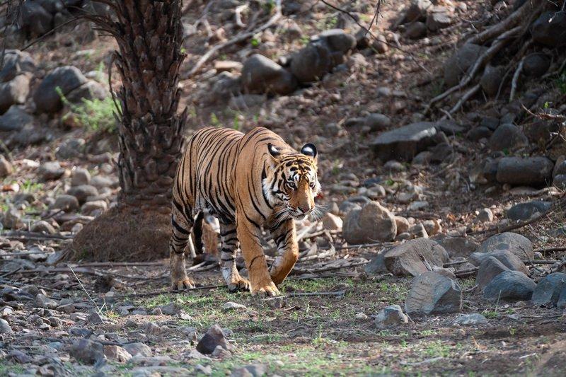 индия Кошка по-индийскиphoto preview