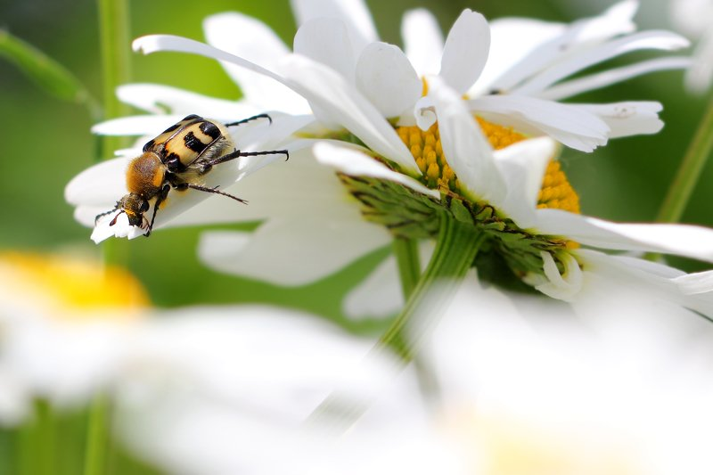 восковики, пестряки, букашка, насекомое, насекомые, жучок, жуки, жучки, bugs, insects Эй! Кто там меня звал?...photo preview
