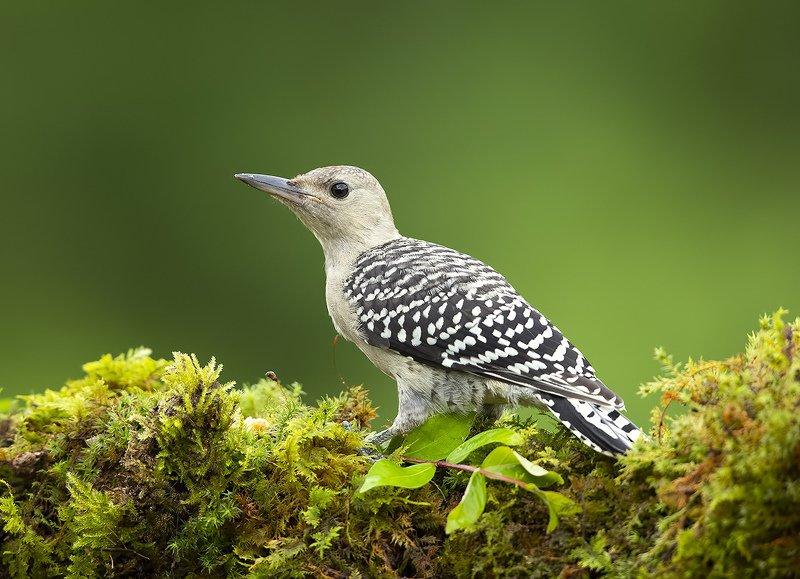 дятел, каролинский меланерпес, red-bellied woodpecker, woodpecker Молодой Дятел. Каролинский меланерпес - Juvenile -Red-bellied Woodpecker фото превью