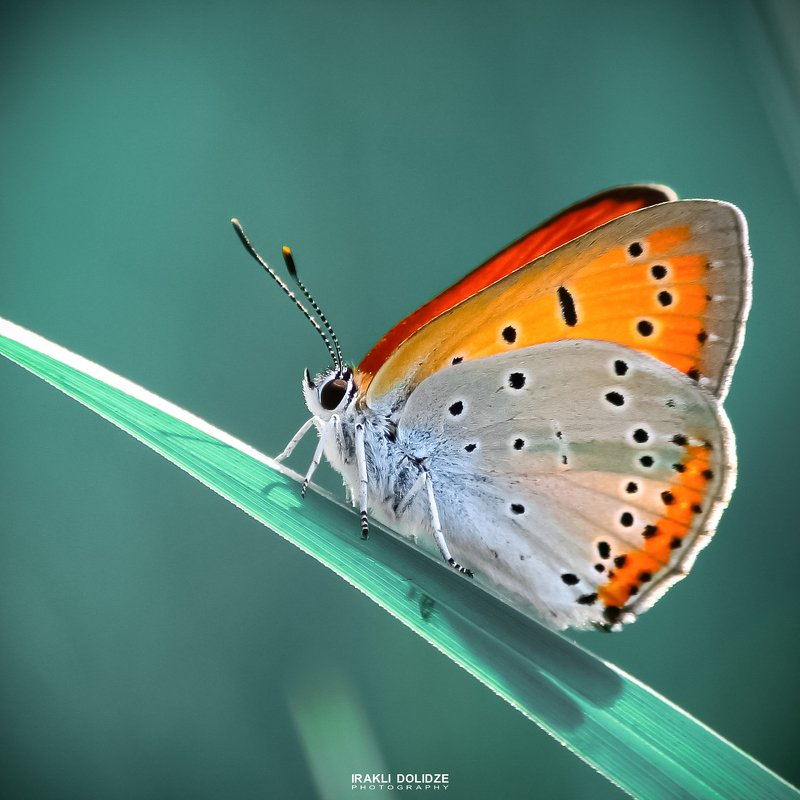 macro, butterfly, nature, photography, photographer, photo, green, blue, cian, color, close-up, Relaxphoto preview