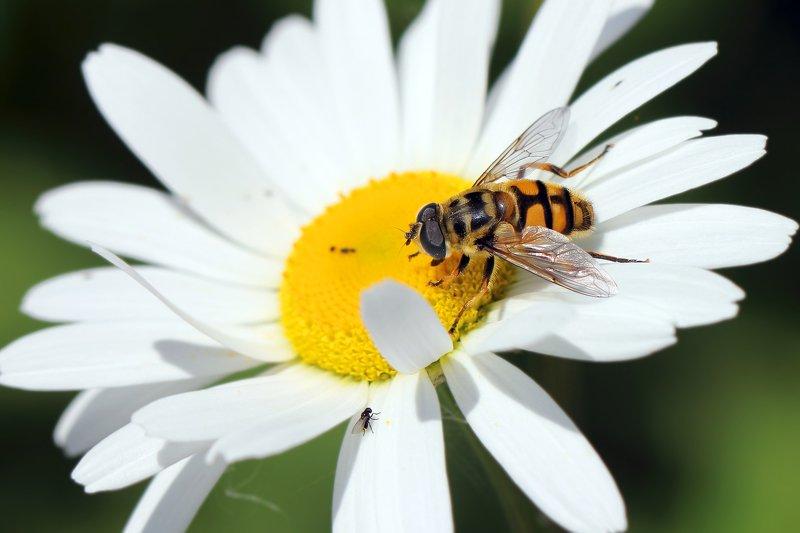 пчёлы, пчелы, мухи, мушка, букашка, насекомое, насекомые, insects, bees, fly Слон и моська...photo preview
