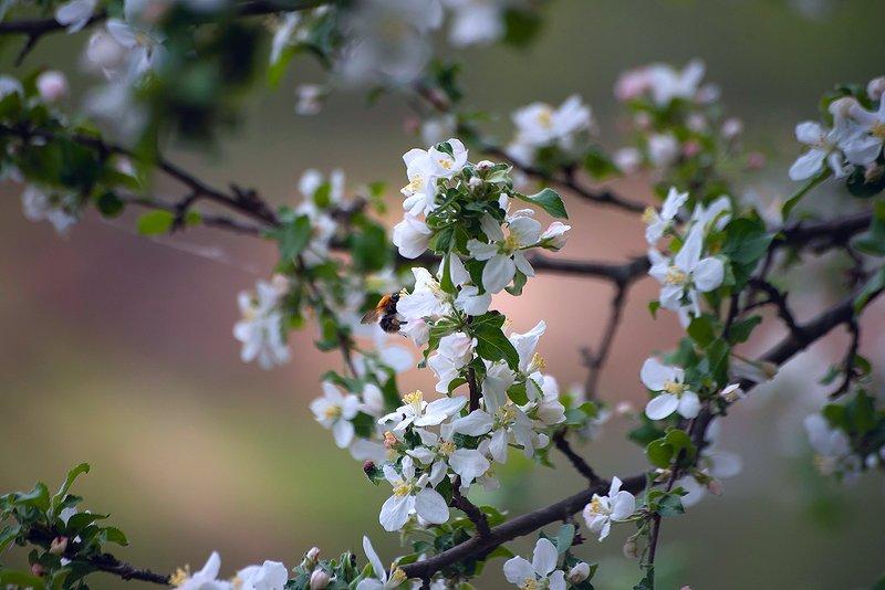 весна, пасмурный день, яблоня в цвету, берёза, серёжки, сосна, мещёра, рязанская область Pro тихие радости пасмурного весеннего дня... фото превью