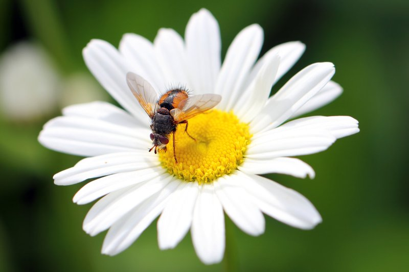 мухи, тахины, ежемухи, букашка, насекомое, насекомые, insects, fly, diptera, brachycera Идёт коза рогатая, за малыми ребятами...photo preview