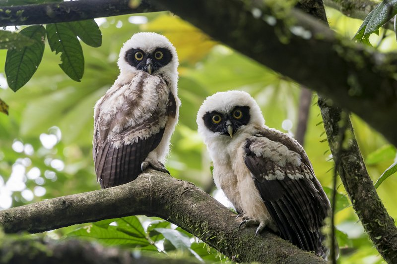 Spectacled Owl (Juvenile twins) фото превью