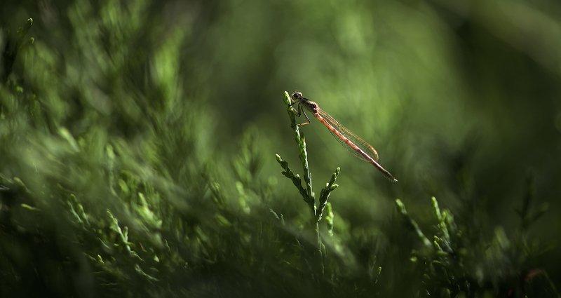 природа, макро, насекомое, стрекоза, можжевельник Волшебник Изумрудного города фото превью