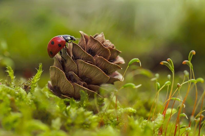 макро, природа, насекомые, божья коровка, мох, шишки, macro, nature, insects, ladybug, moss, cones, ***photo preview