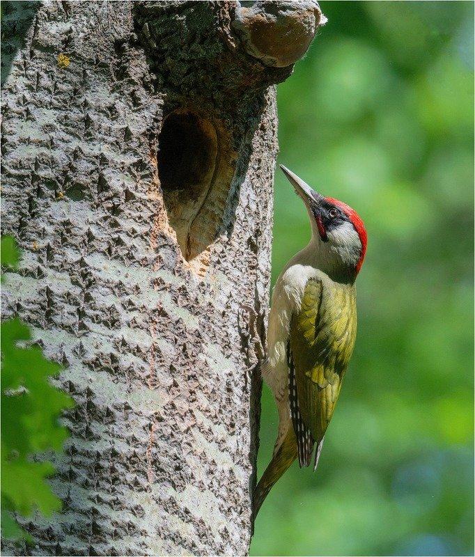 зеленый дятел птица Оливковый фото превью