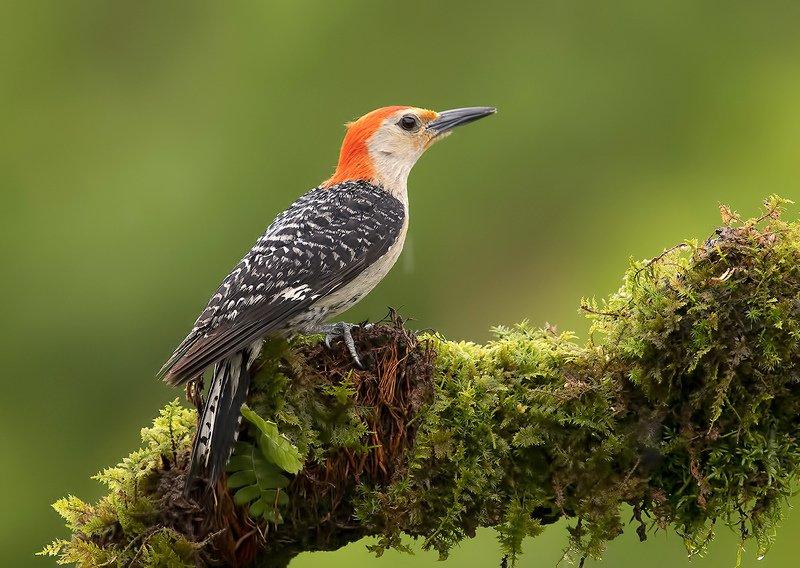 дятел, каролинский меланерпес, red-bellied woodpecker, woodpecker Дятлы. Каролинский меланерпес  - Red-bellied Woodpecker фото превью