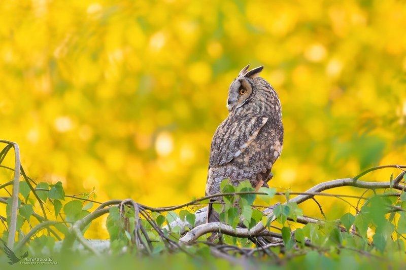 birds, nature, animals, wildlife, colors, meadow, spring, feedom, owl, nikon, nikkor, lens, lubuskie, poland Uszatka, Long-eared Owl (Asio otus) ... 2019r фото превью