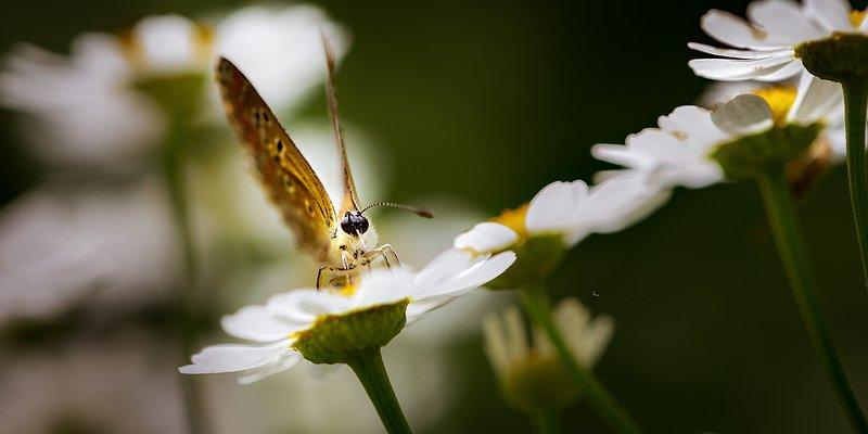 природа, макро, цветы, матрикария, насекомое, бабочка Скользковато нынче... фото превью