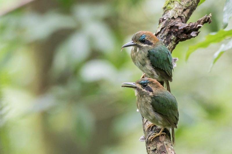 Tody Motmot (Hylomanes momotula) Momoto Enano (Pájaro Bobo) R фото превью