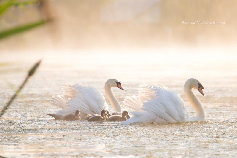 рассвет, лебедь, птицы, озеро Доброе туманное утро...photo preview