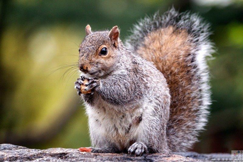 Squirrel Portraitphoto preview