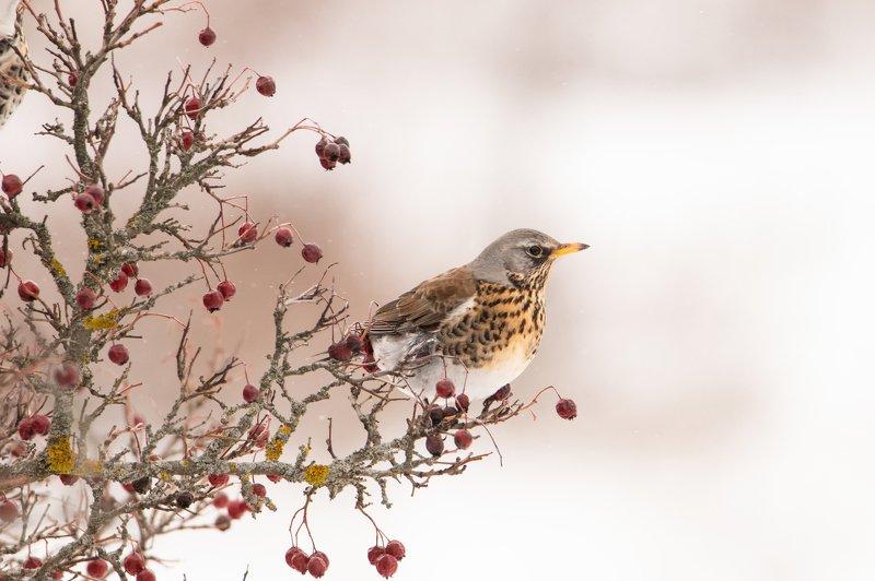 птица, природа, животные, Портрет рябинникаphoto preview