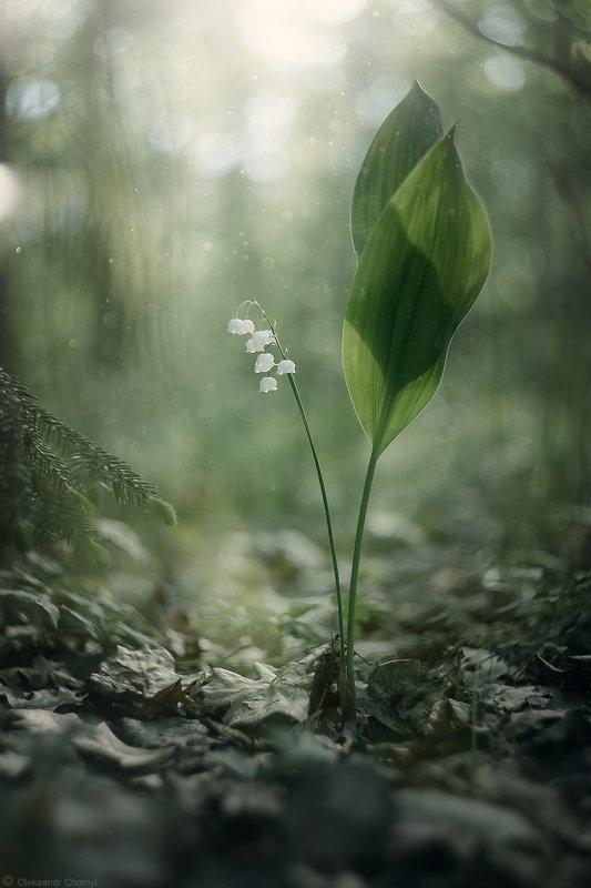боке, вдохновение, волшебство,гармония, гелиос,жизнь, ландыши, лес, любовь, магия,макро, надежда, нежность, свет, тишина, украина, цветы, коростышев, макро мир, макро красота,макро истории Perpetual Light фото превью