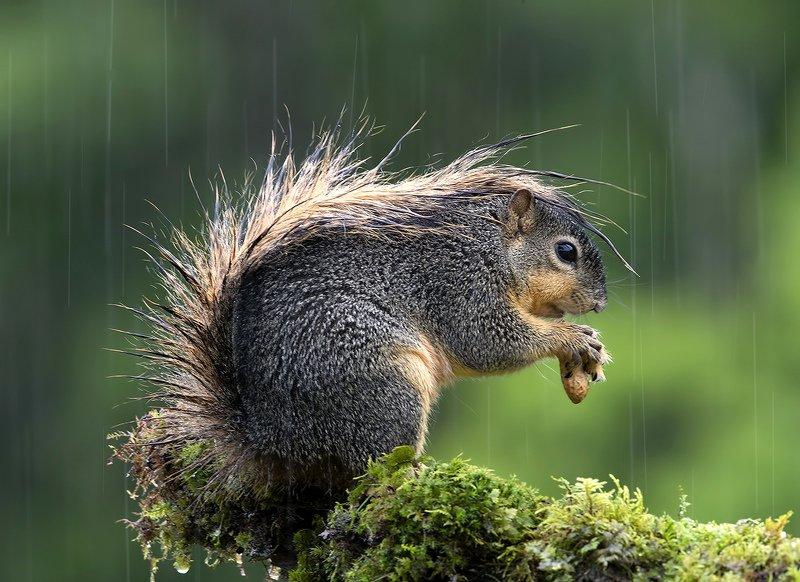 белка, squirrel, лисья белка, fox squirrel, животные,animals Fox Squirrel in rain - Лисья Белка фото превью