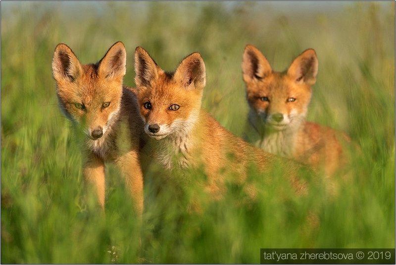 my-mriya, fox Лисята. Продолжение. фото превью