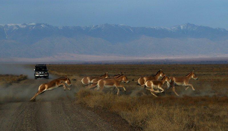 куланы, лошади, казахстан, алтынэмель, природа, шаварёв, Табун куланов.photo preview