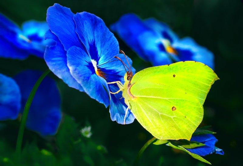 природа, лето, бабочки, крушинница, лимонница ***photo preview