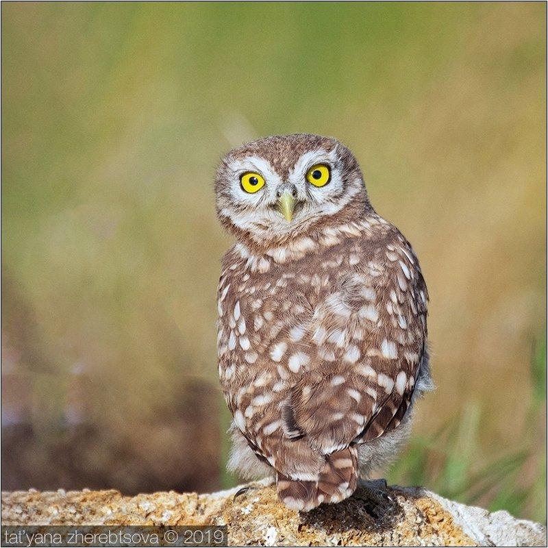my-mriya, owl Взгляд фото превью