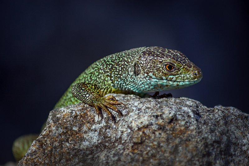 moment, момент, beautiful, красивый, canon 55-250, reptile, рептилия, lizard, ящерица, green, зеленая,  stone, камень, portrait, портрет, Портрет серьезного зверя :)photo preview