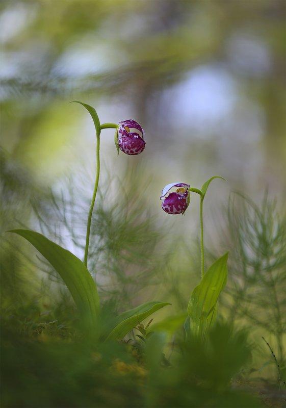 башмачок_капельный, венерин_башмачок, якутия, алданский_район, саха, орхидея Башмачки фото превью