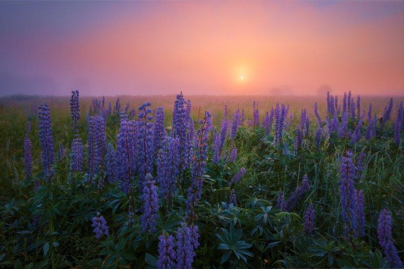 люпины, цветы, рассвет, туман Люпиновые зарисовки фото превью