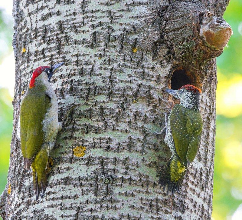 зеленый дятел птица весна Поколение Nextphoto preview