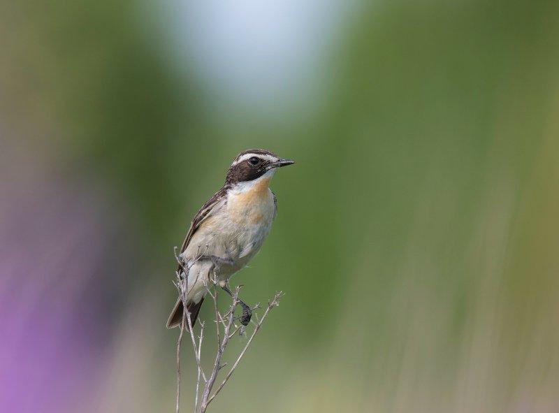 птицы,природа,лето Луговой чеканphoto preview