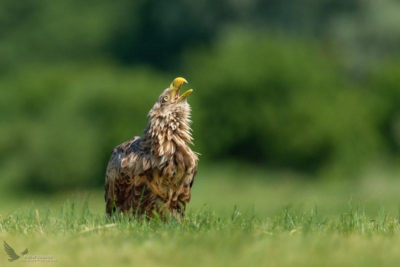 birds, nature, animals, wildlife, colors, meadow, spring, nikon, nikkor, lens, lubuskie, poland, eagle Zew natury - Bielik, White-tailed Eagle (Haliaeetus albicilla) ... 2019rphoto preview