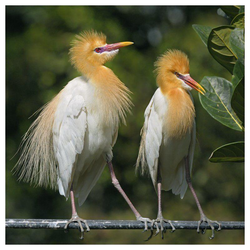 восточная, египетская, цапля, bubulcus, ibis, coromandus, бали, индонезия Рука в рукеphoto preview