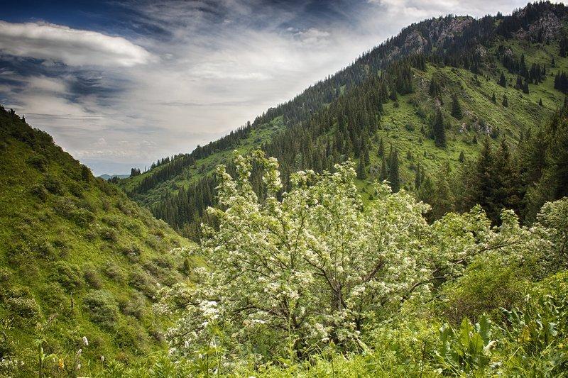 кыргызстан, горы Цветы рябины белые...photo preview