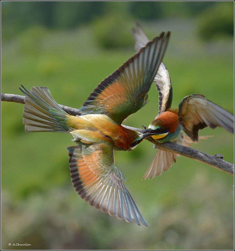 щурки,май,выясняют,отношения,птицы Сцепились )photo preview