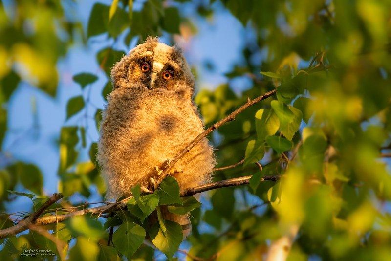 owl, birds, nature, animals, wildlife, colors, meadow, spring, freedom, little, nikon, nikkor, lens, lubuskie, poland Uszatka, Long-eared Owl (Asio otus) ... 2019rphoto preview