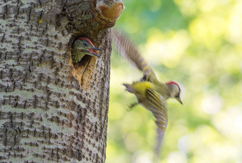 птица птенец зеленый дятел лето Возвращайся скорей!!!photo preview
