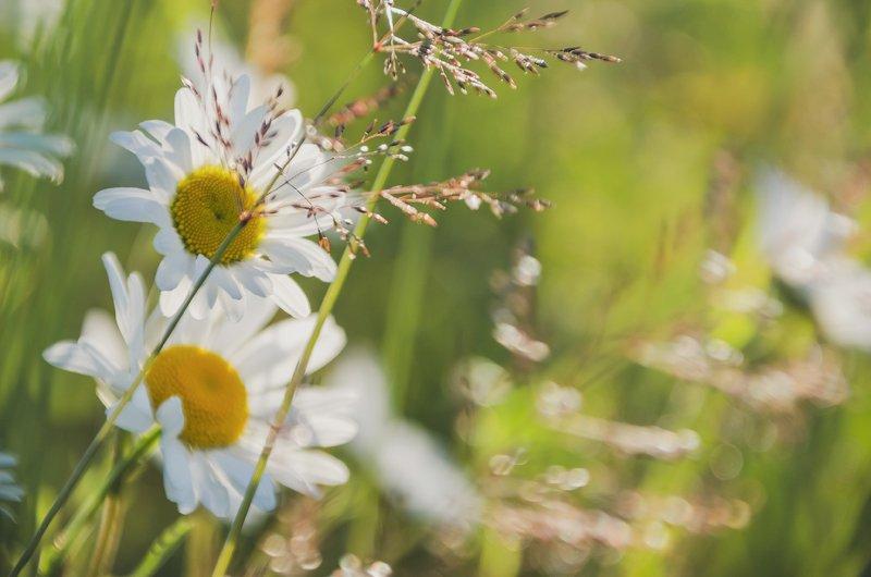 ромашка, утро, поле, солнце, природа, nature утренние ромашкиphoto preview